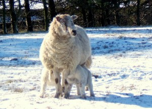 lambsInWinter