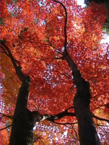 Autumn_leaf_color