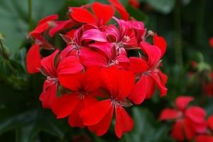 geranium-141554_640