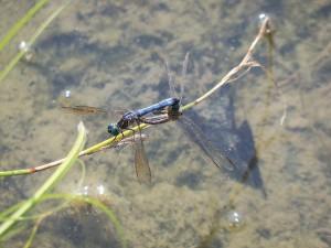 dragonfly-430212_640