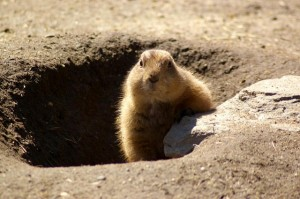 groundhog-629863_640 (1)