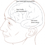 Human_head_and_brain_diagram PatrickLynch CCBY2-5