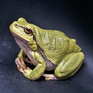 Image of a sitting frog