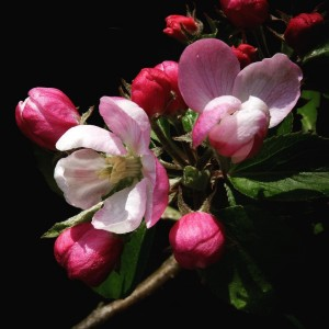 Apple blossom, by Jim Champion